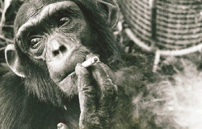 Sebastian - Nairobi's Chimpanzee