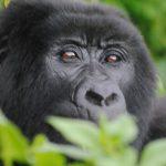 bwindi-mountain-gorilla
