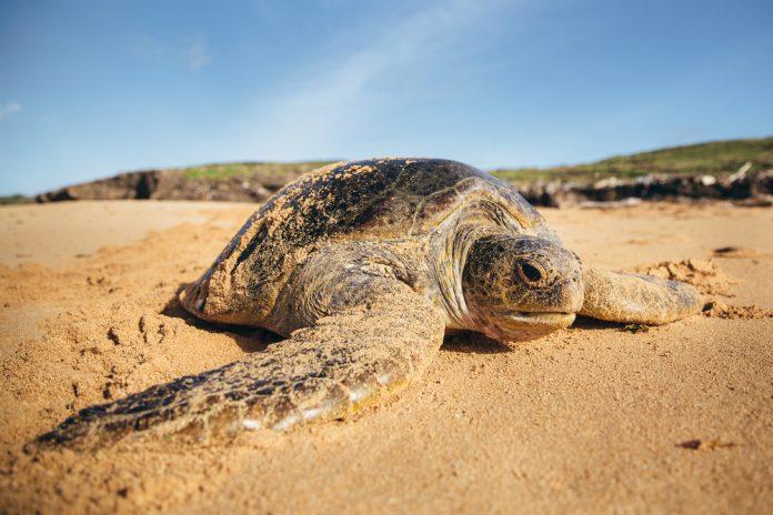 Turtle in Kenya
