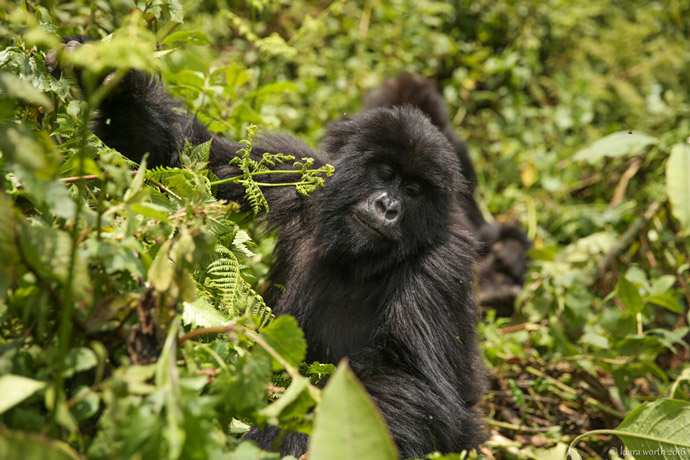 Gorilla Trekking in the Volcanoes