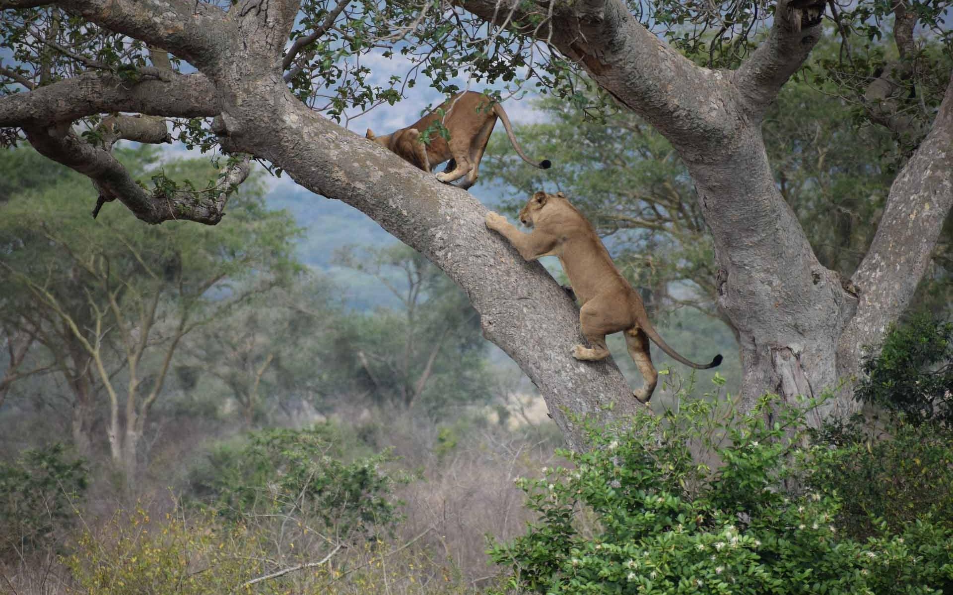 The Tree Climbing Lions of Ishasha Sector